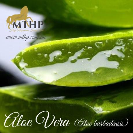 Aloe Vera Sq (1)