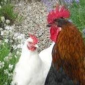 Respir8 – respiratory health blend (Birds)